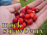 mock strwaberry poziomka